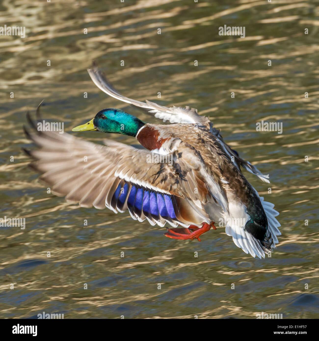 A flying male Mallard duck - Stock Image