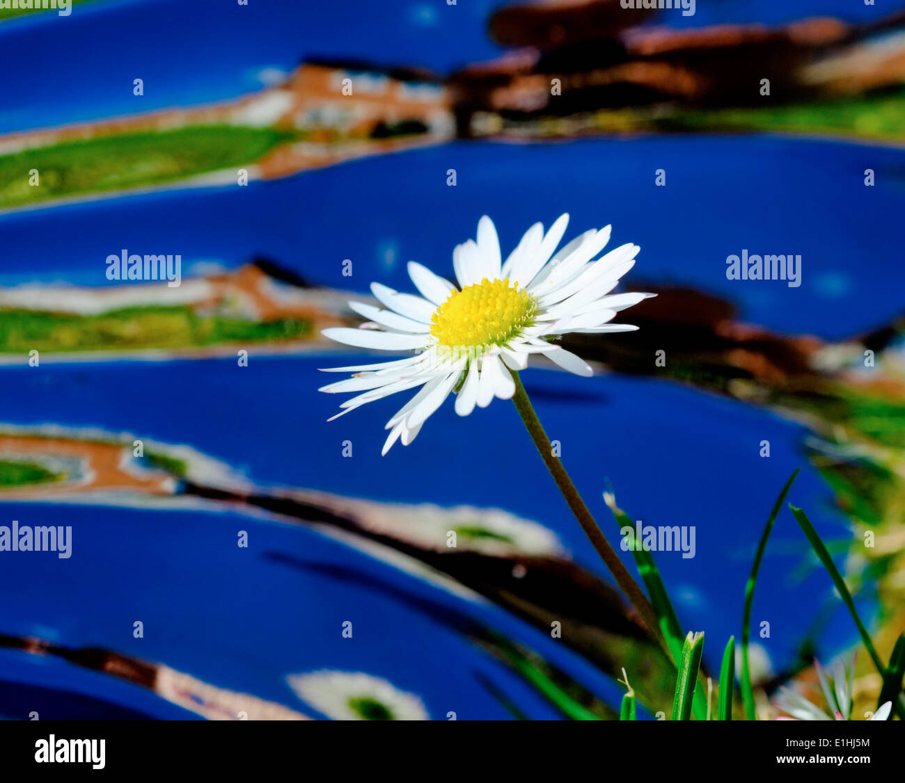 A daisy in a garden with a mirrored reflective warped background Stock Photo