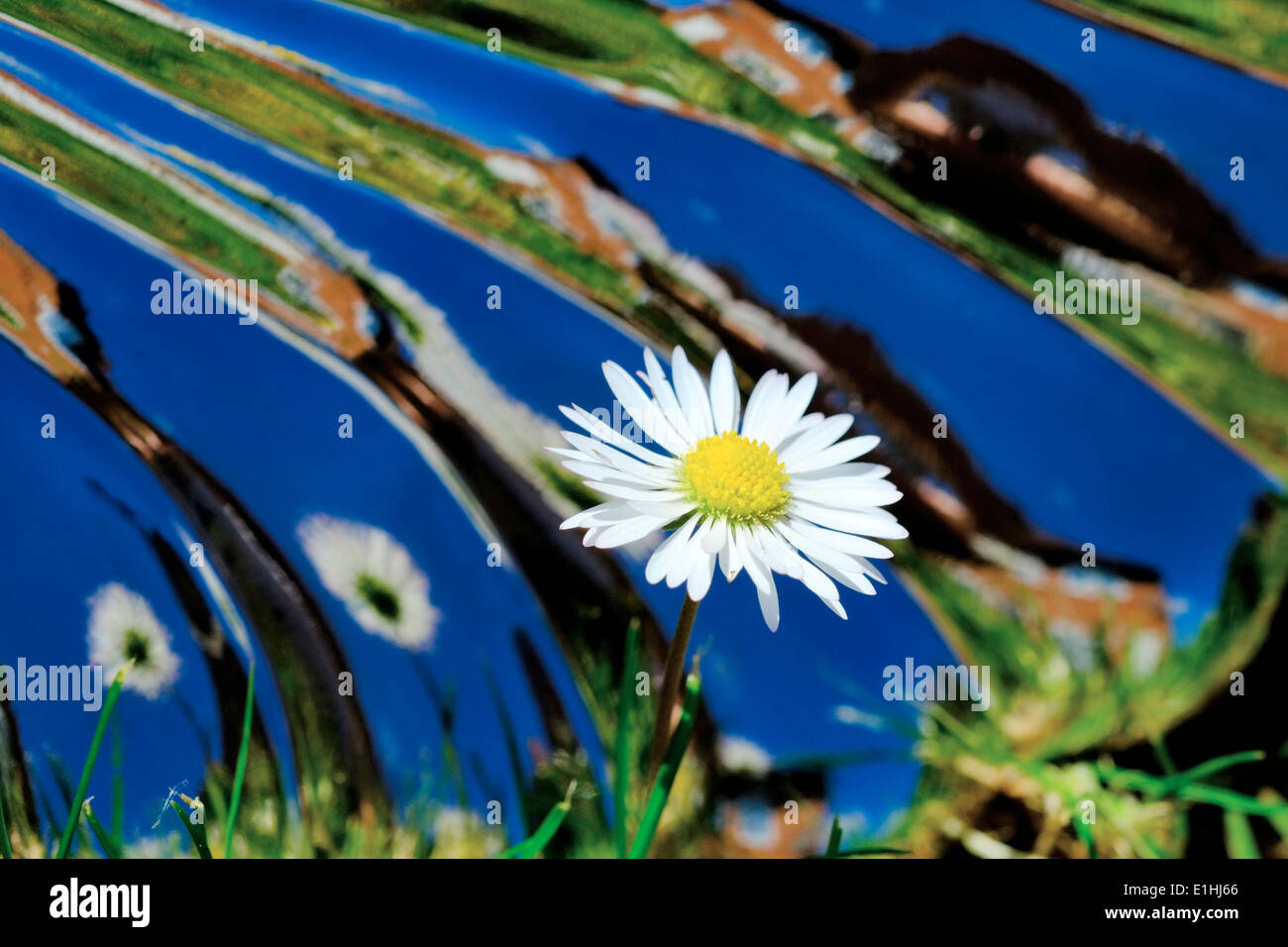 A daisy in a garden with a mirrored reflective warped background - Stock Image