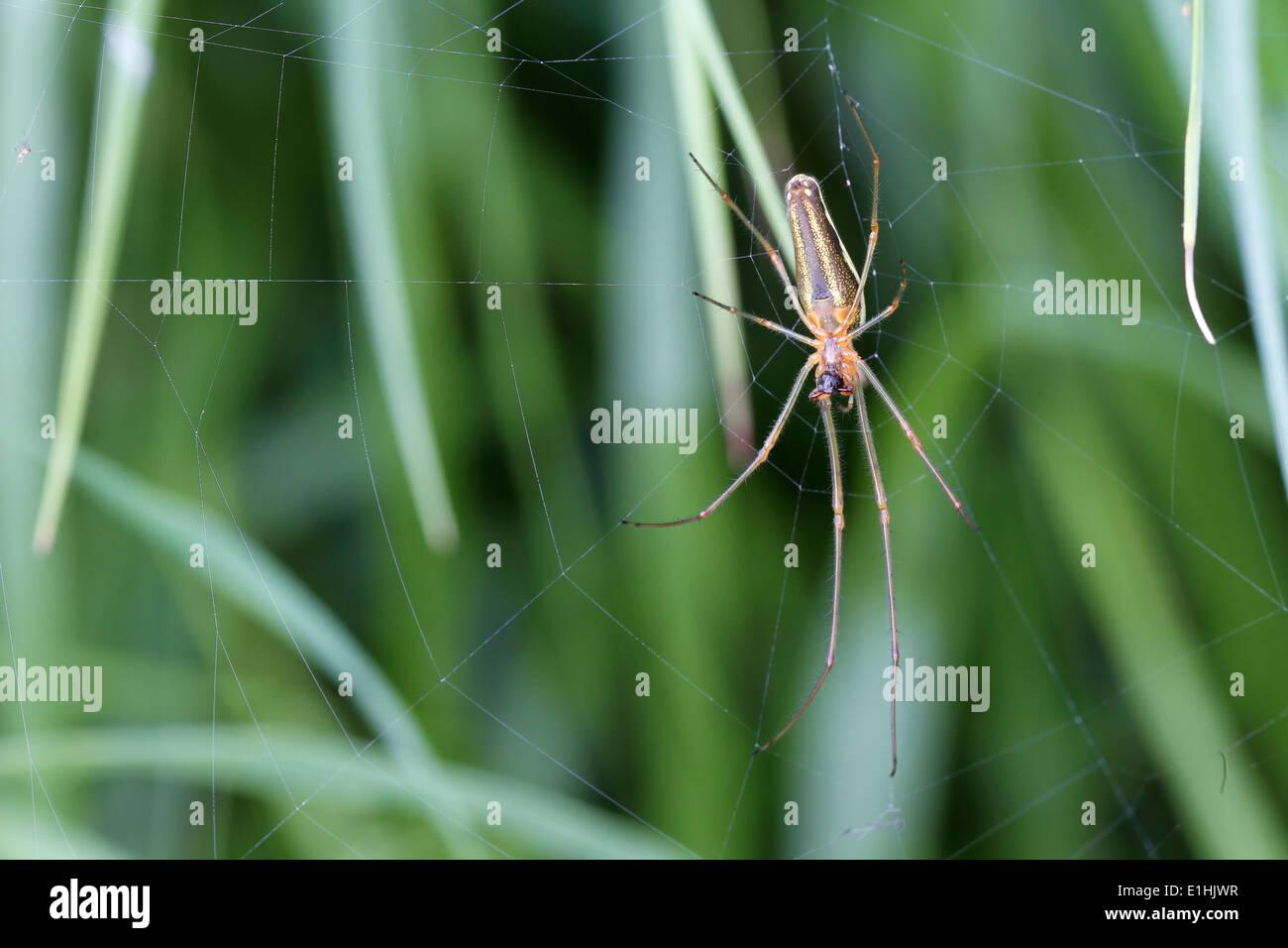Longjawed Orbweaver (Tetragnatha extensa) in the spiderweb, Mecklenburg-Western Pomerania, Germany - Stock Image