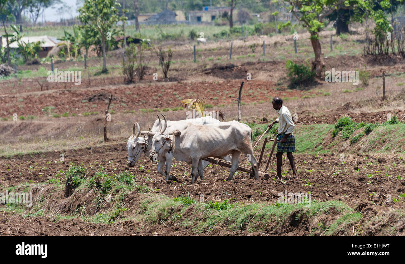 Indian farmer plowing field with yoke of oxen, Nagarhole National Park, Karnataka, India - Stock Image
