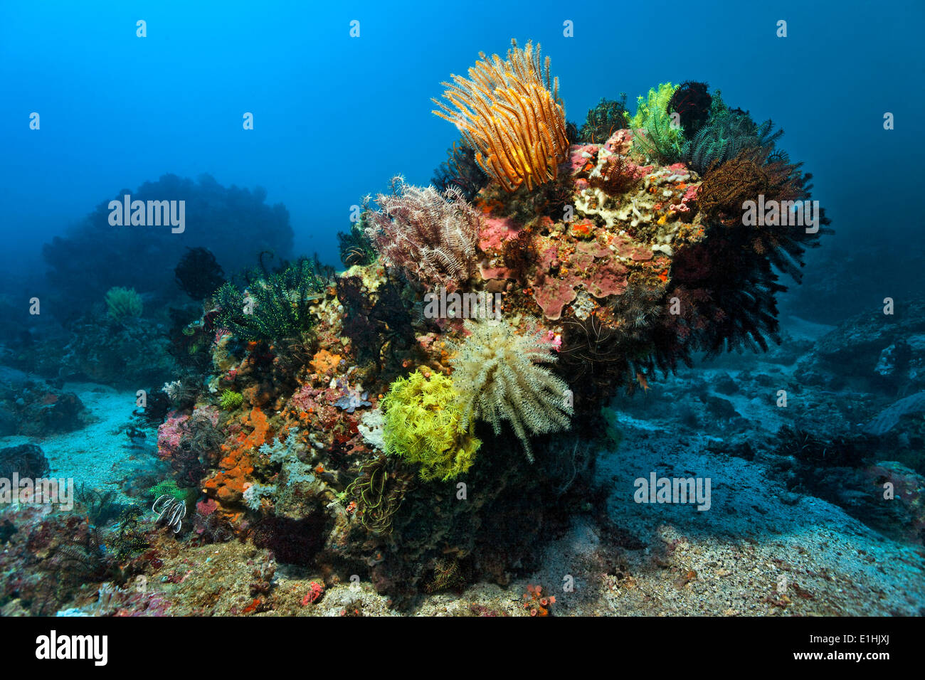 Coral block with lots of Feather Stars (Crinoidea), corals, Sabang Beach, Puerto Galera, Mindoro Island, Philippines - Stock Image