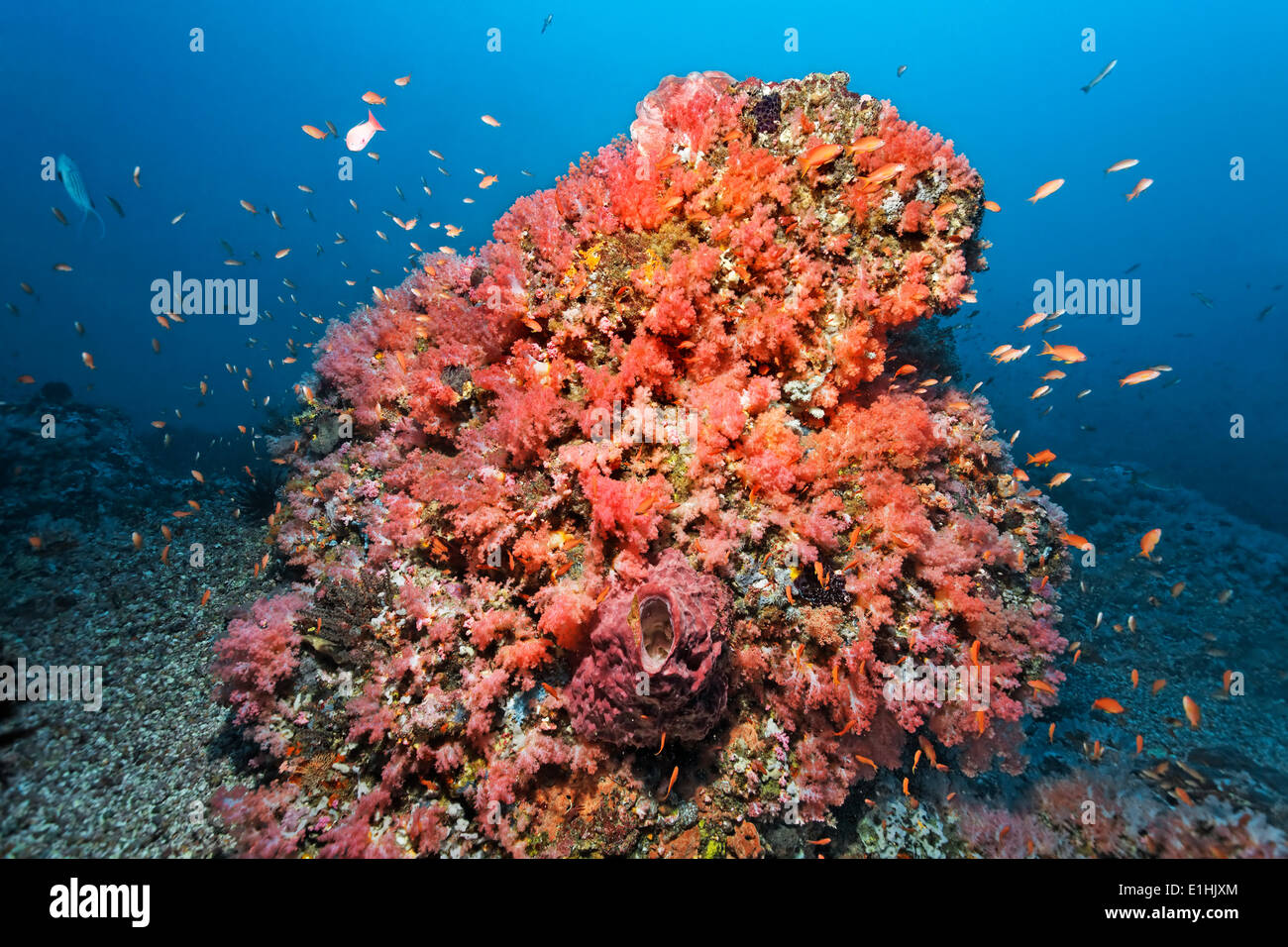 Coral block covered with various red Soft Coral (Alcyonacea) and Sponges (Porifera), Tilefish (Anthiinae), Sabang Beach - Stock Image