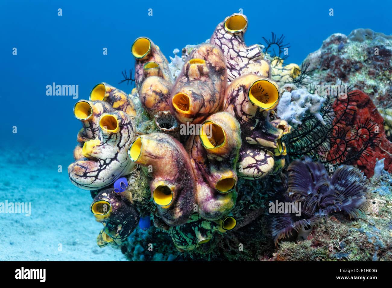 Colony of Polycarpa-Sea Squirts (Polycarpa aurata) on a coral reef, Sabang Beach, Puerto Galera, Mindoro Island, Philippines - Stock Image