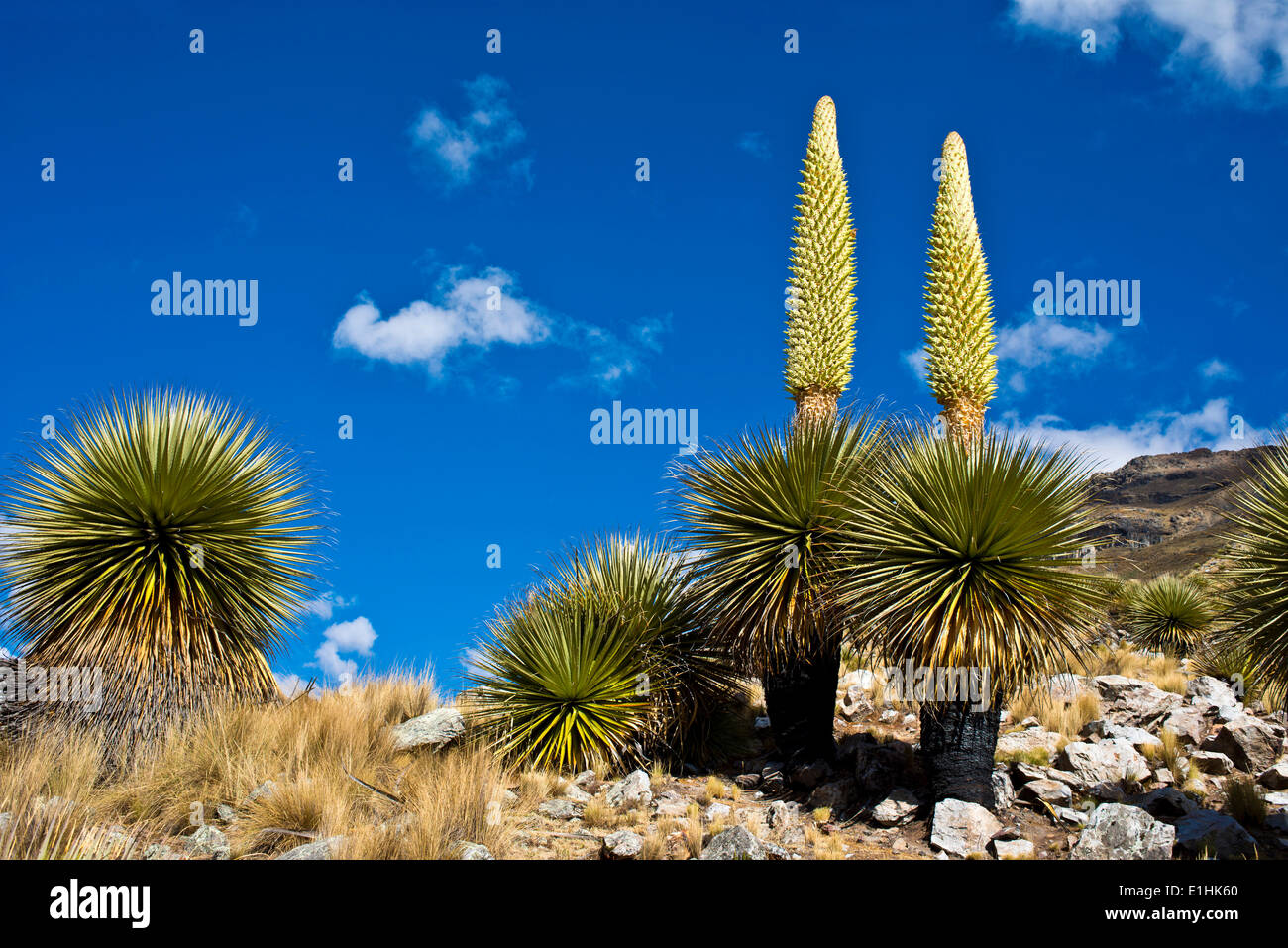 Queen of the Andes or Giant Bromeliads (Puya raimondii), about 8 m high with inflorescence, the highest inflorescence Stock Photo
