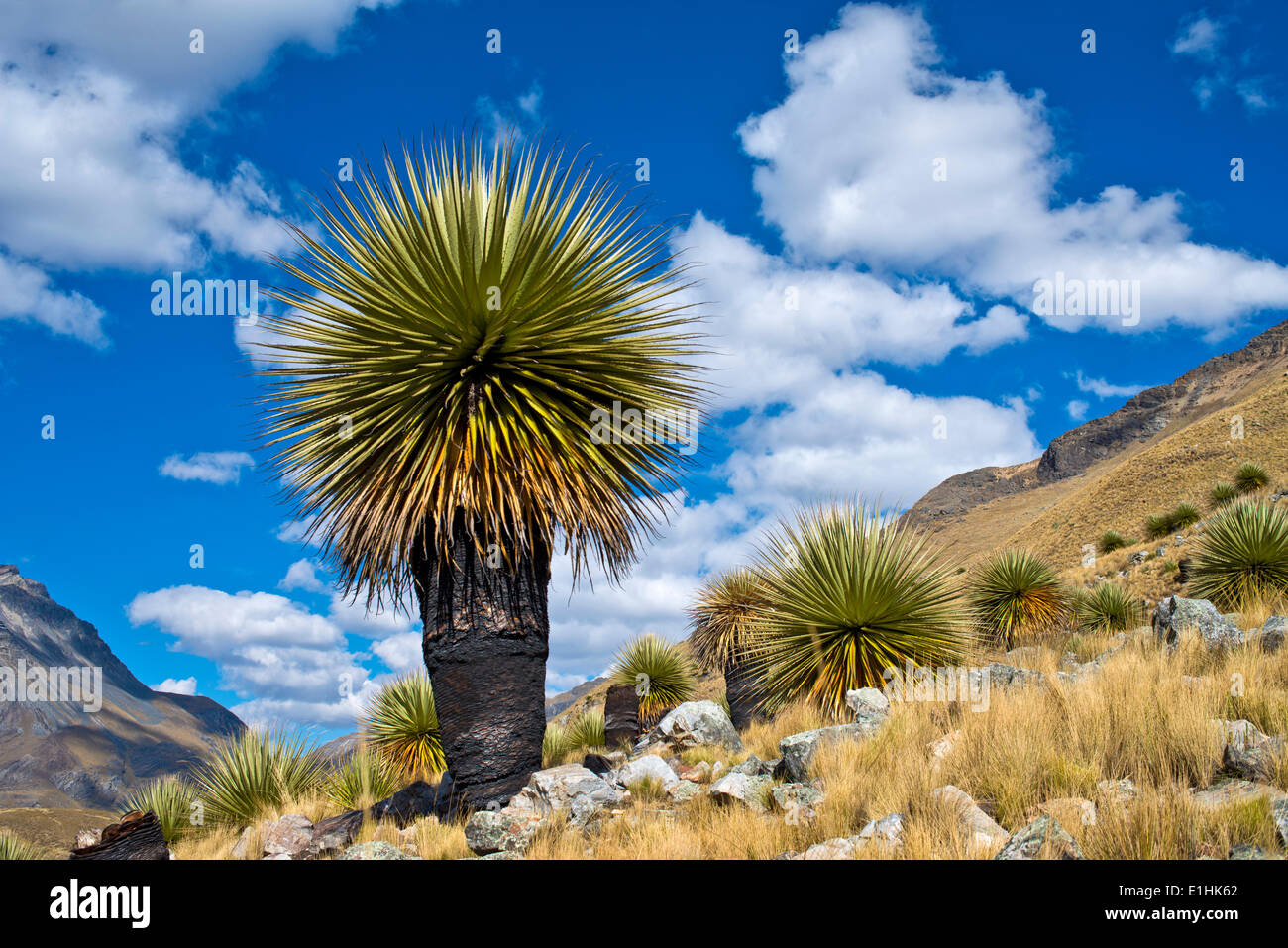Queen of the Andes or Giant Bromeliad (Puya raimondii), Huascaran National Park, Andes, Huaraz, Ancash region, Peru Stock Photo