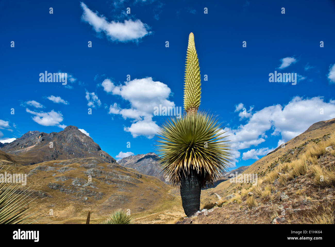 Queen of the Andes or Giant Bromeliad (Puya raimondii), about 8 m high with inflorescence, the highest inflorescence Stock Photo