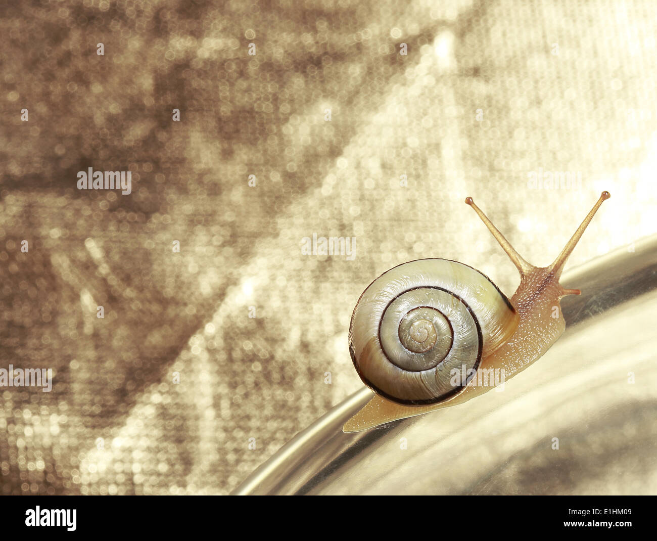 Common Garden Banded Snail Crawling on Metallic Background Stock Photo