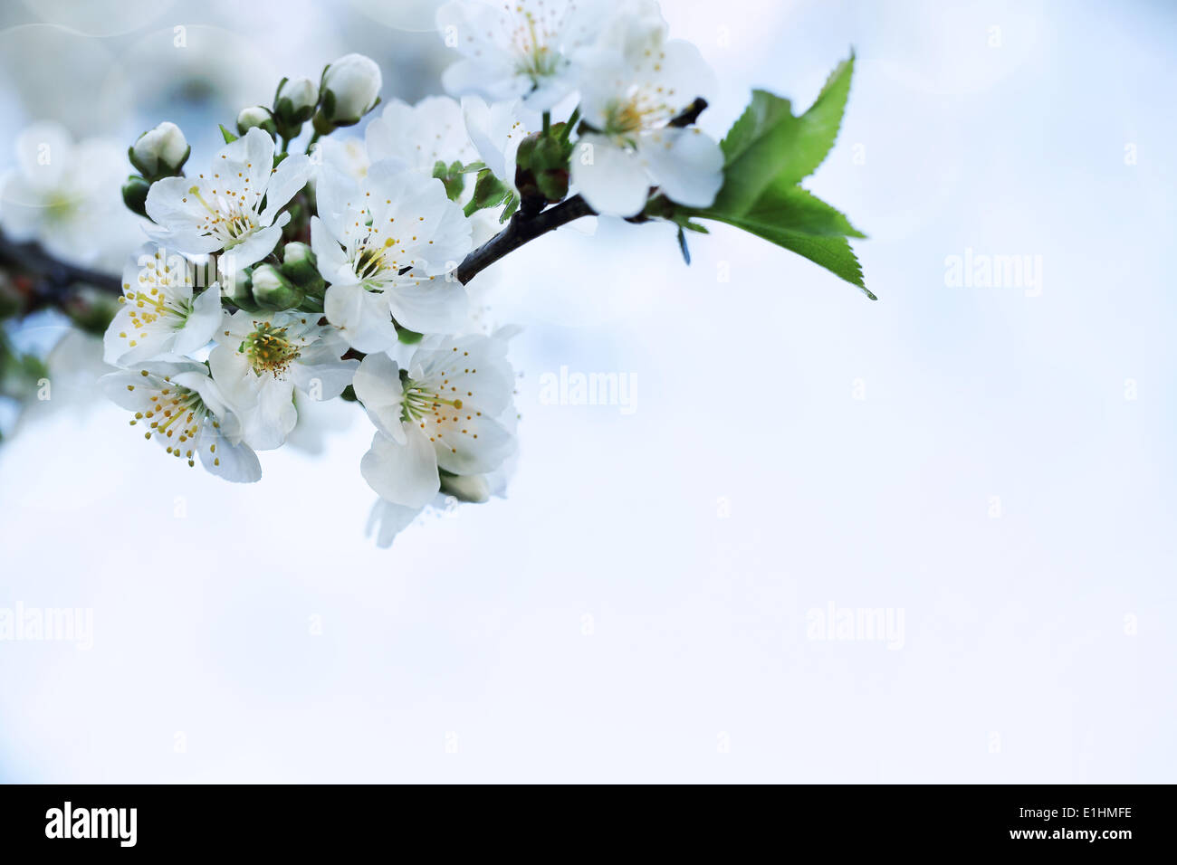 Nature. Closeup Branch of Apple Tree White Flower. Springtime Background - Stock Image