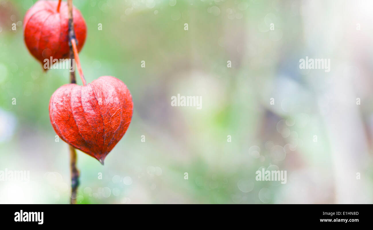 Bokeh nature background of inflorescence Physalis alkekengi (Chinese Lantern) - Stock Image
