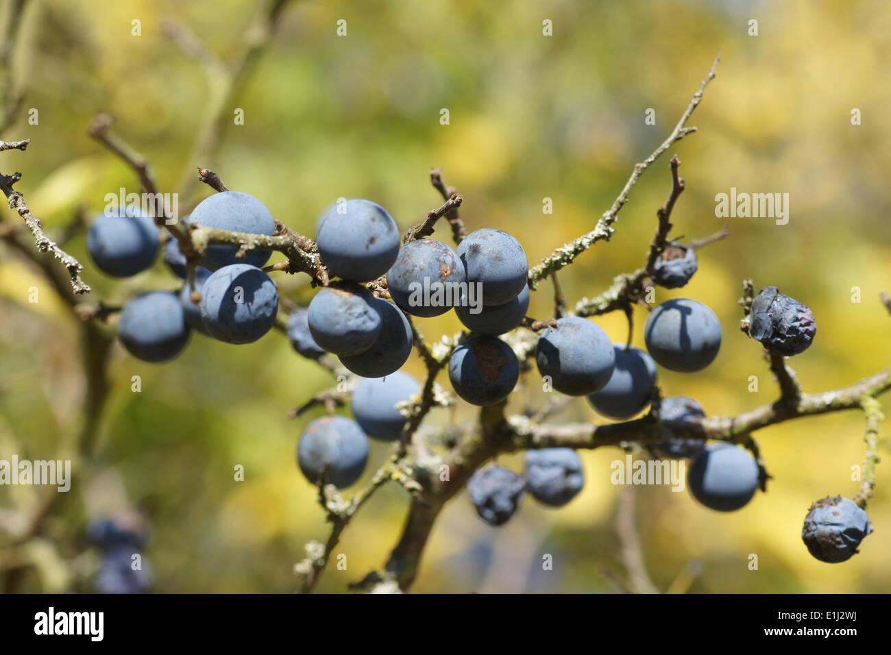 Blackthorn - Stock Image