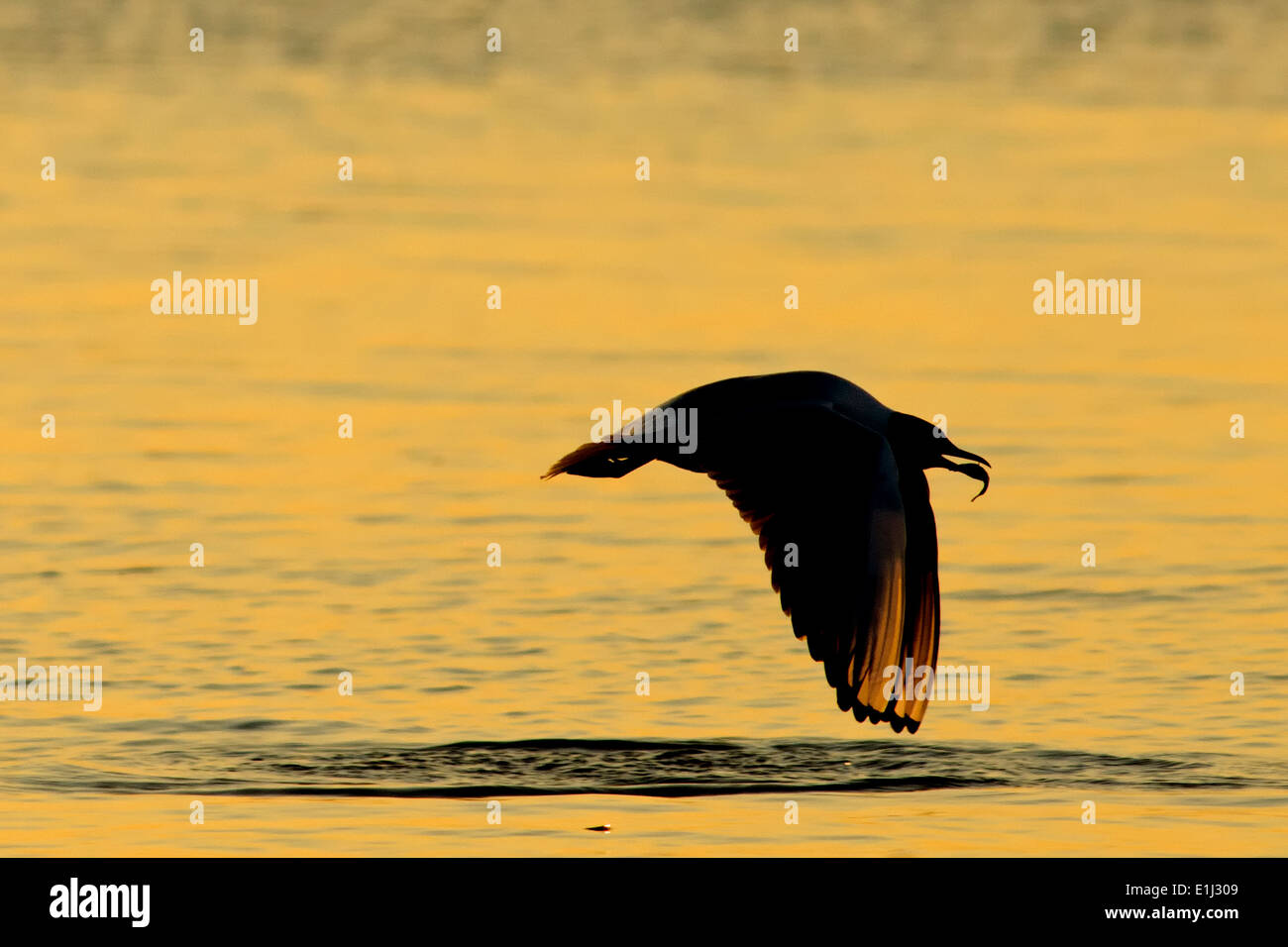 Germany, Mecklenburg-Western Pomerania, Seagull, Laridae, at sunset - Stock Image