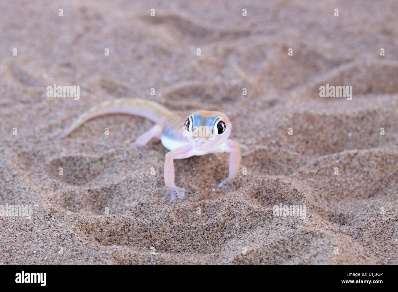 Africa, Namibia, Namib desert, Swakopmund, palmato gecko, Pachydactylus rangei, on sand Stock Photo