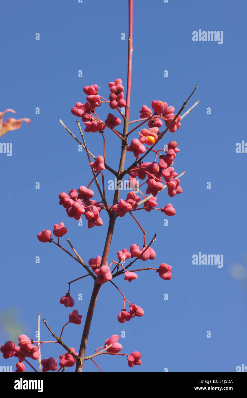 European Spindle - Stock Image