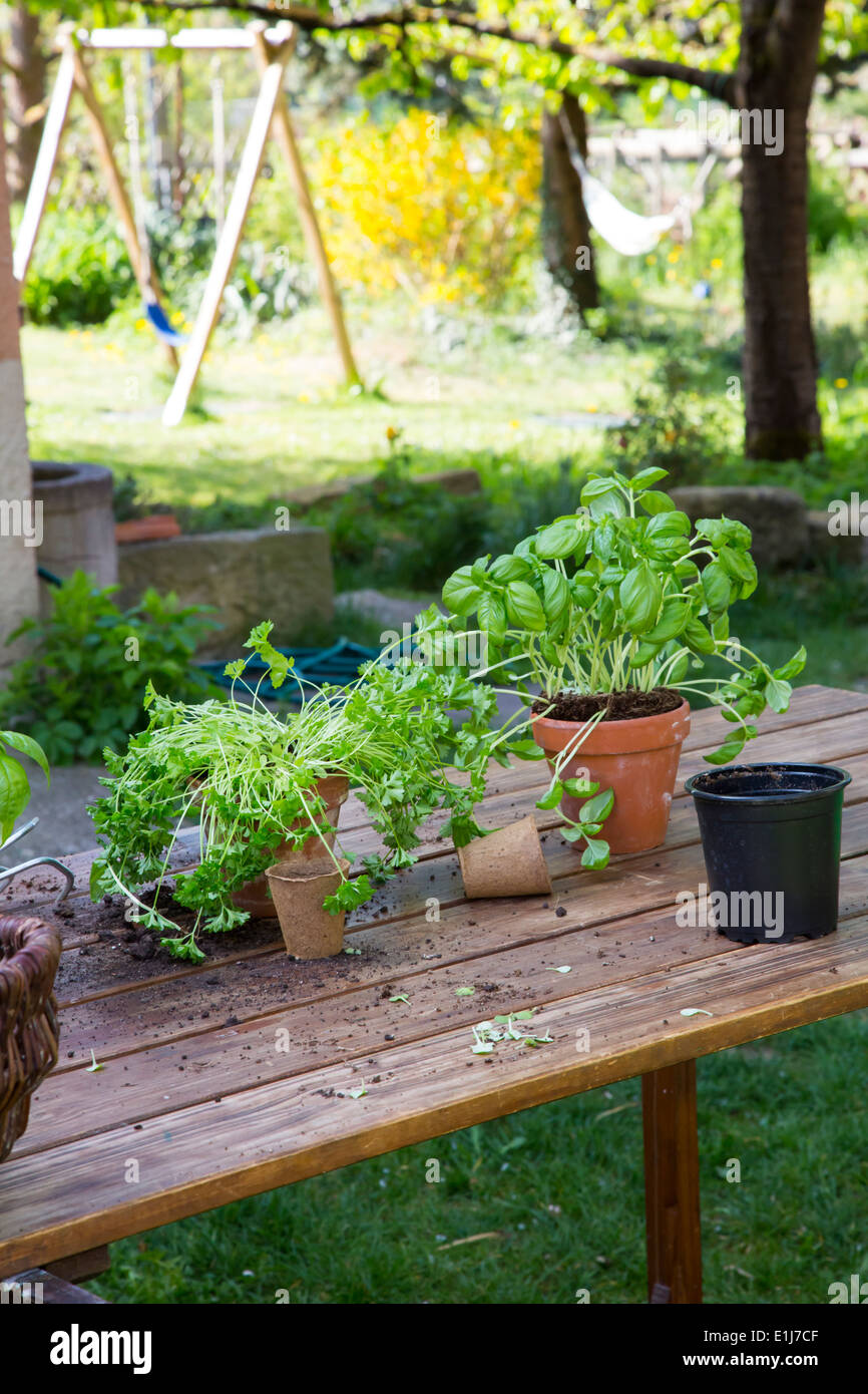 Wooden table with flower pots, nursery pots, basil and parsley in the garden - Stock Image