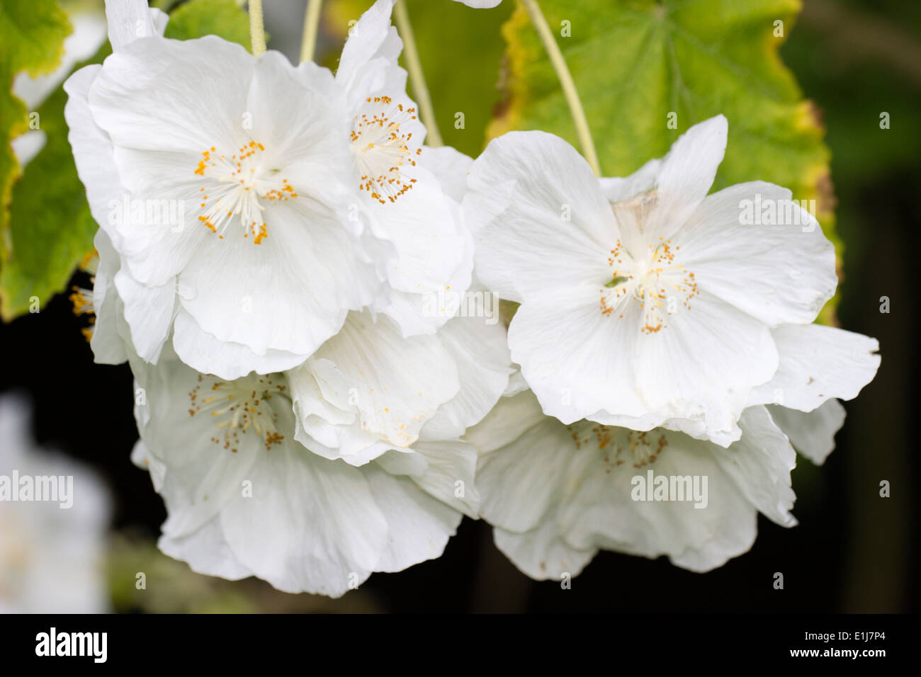 White flowers of the flowering maple, Abutilon vitifolium 'Tennant's White' - Stock Image