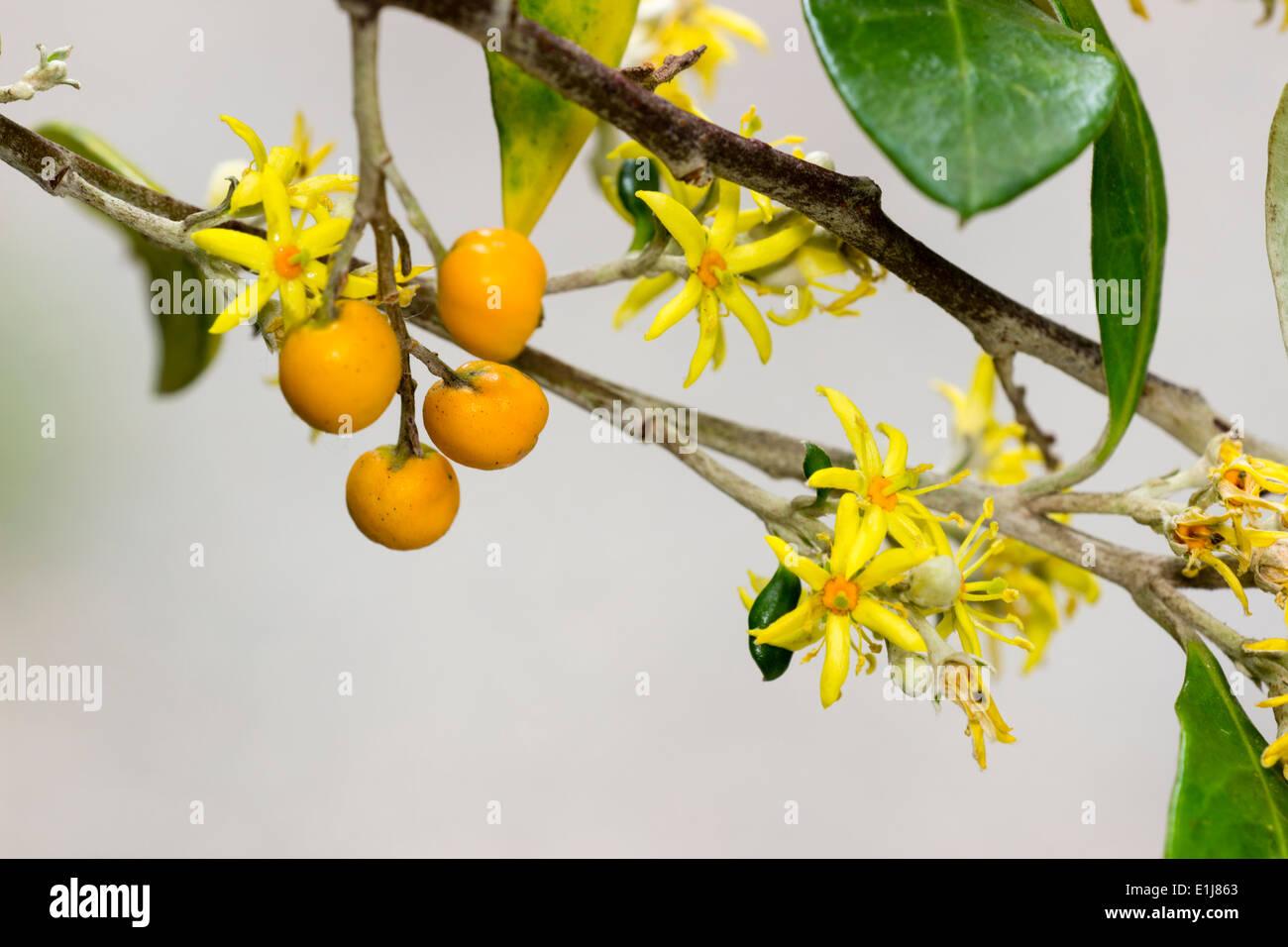 Small yellow flowers and orange berries of the new zealand native small yellow flowers and orange berries of the new zealand native corokia virgata mightylinksfo