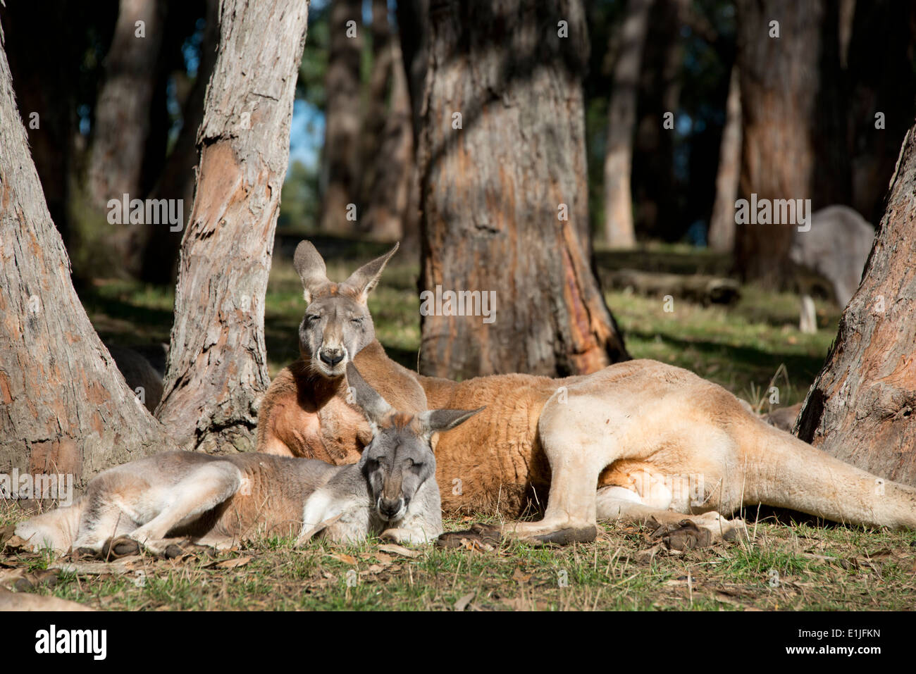 Australia South Australia Adelaide Cleland Wildlife Park Red