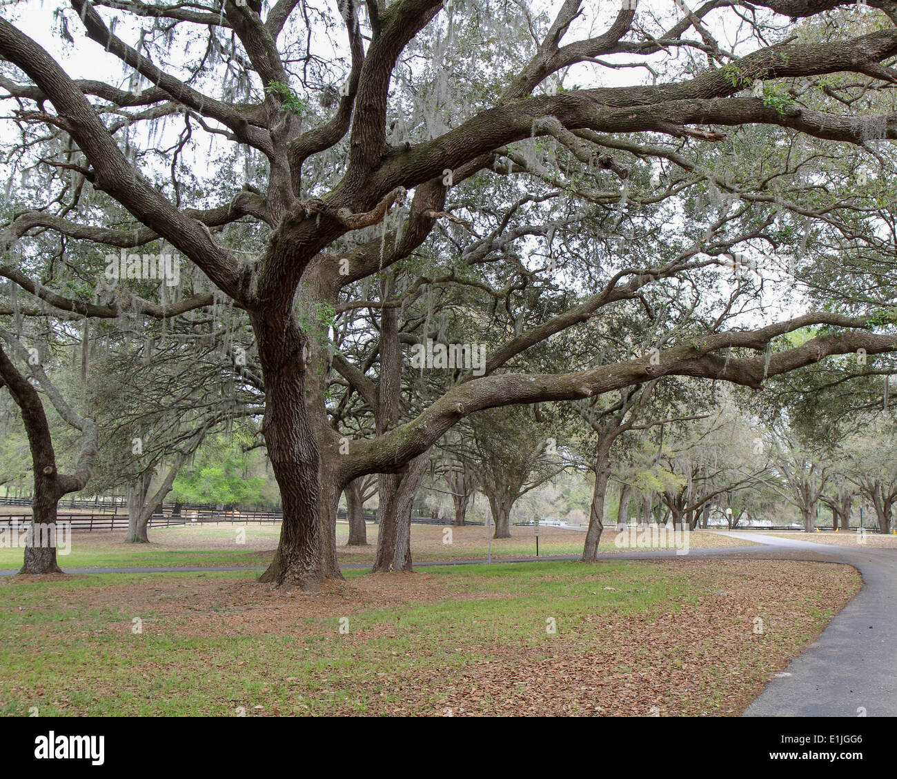 Live Oak Trees in Florida - Stock Image