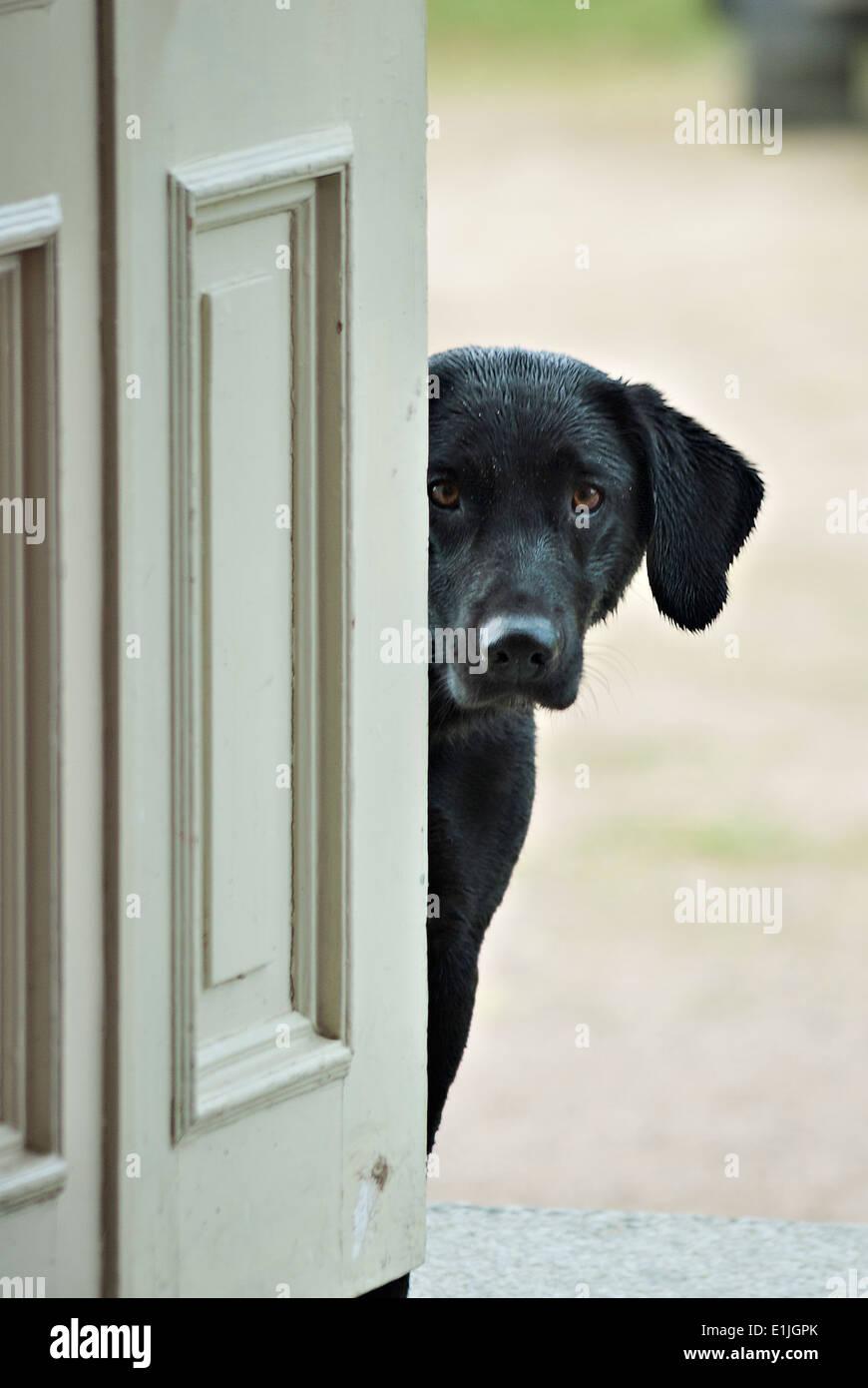 Black crossbred dog hiding behind a door. - Stock Image