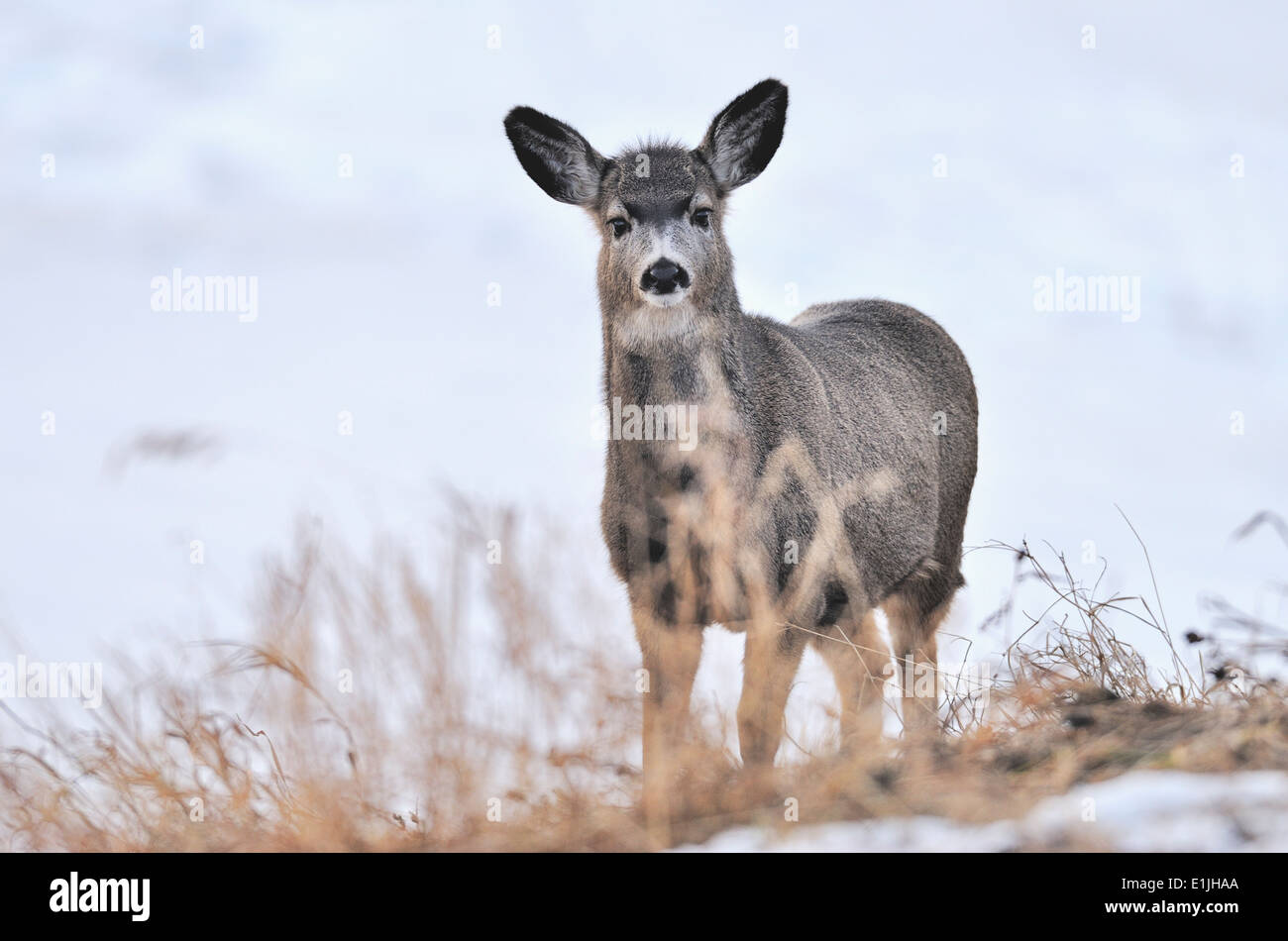 A portrait image of a young mule deer in his winter habitat - Stock Image