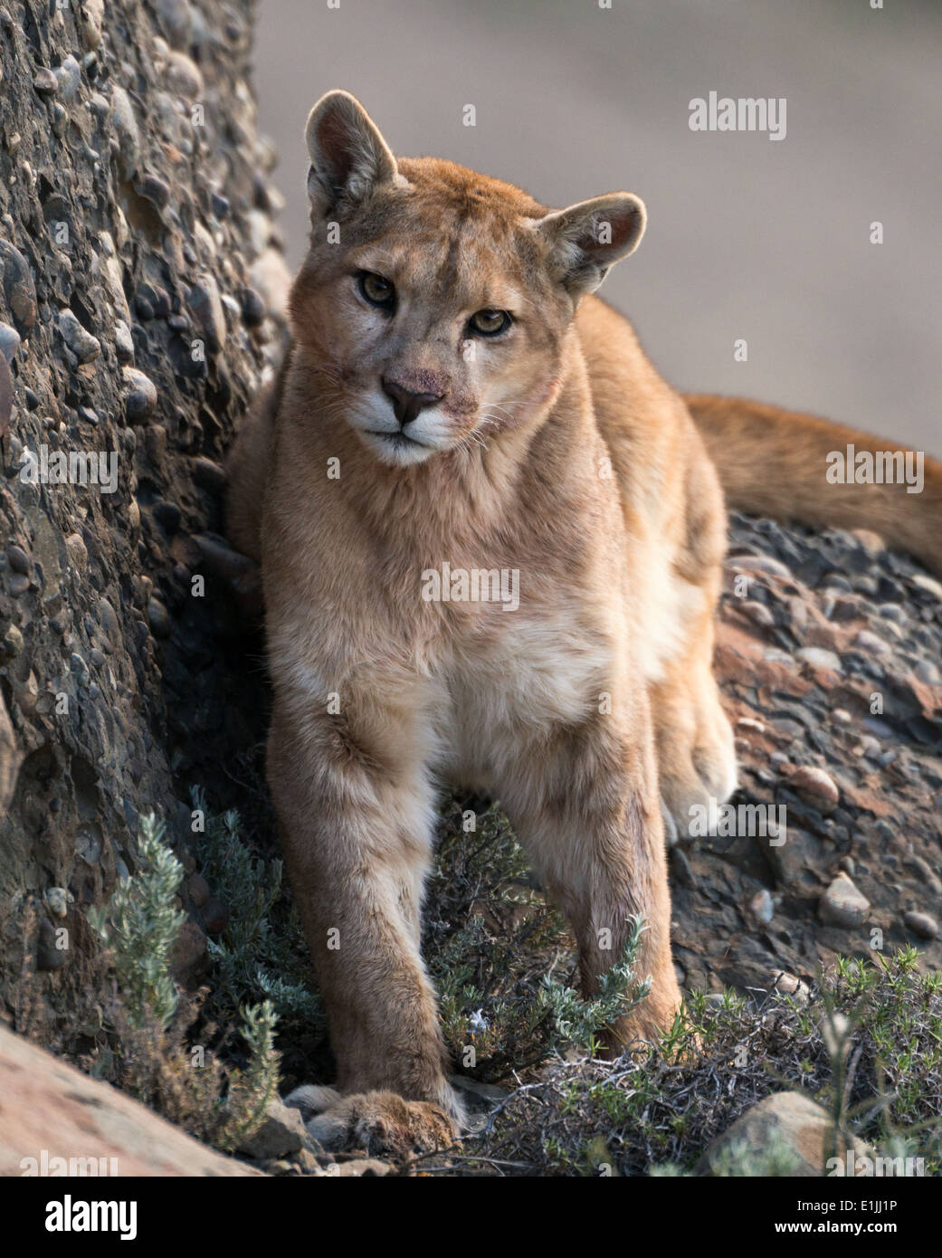 Wild puma from Chile - Stock Image
