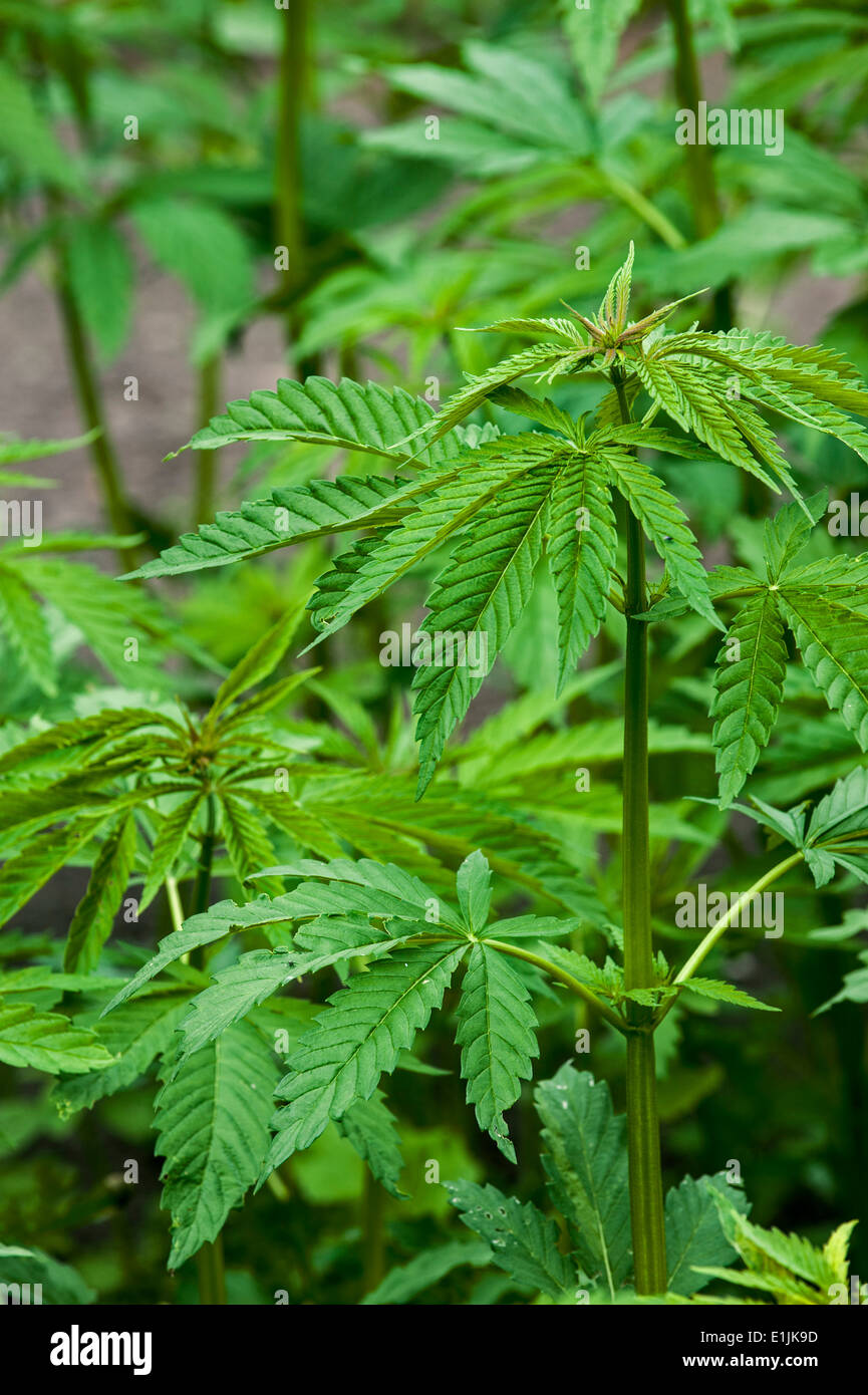 Растение с листьями похожими на коноплю семена конопли продажа в спб