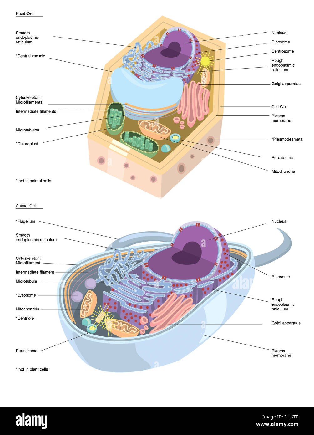 Comparative illustration of plant and animal cell anatomy (with ...