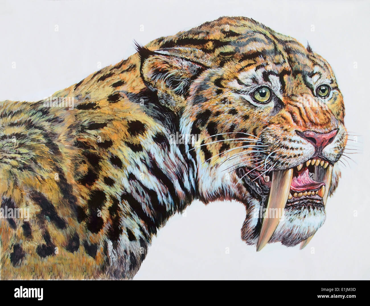 Close-up headshot of Megantereon (early sabertooth), Pliocene Epoch of Europe, Asia, and North America. - Stock Image