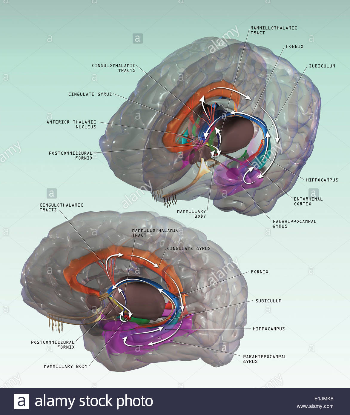 3D illustration of the Papez Circuit in human brain. - Stock Image