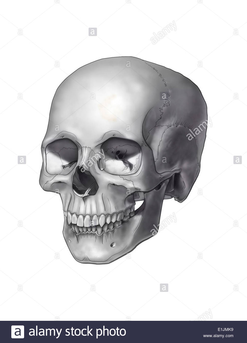 Black and white illustration of a human skull. - Stock Image