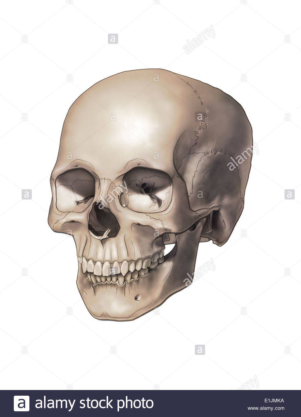 Color illustration of a human skull. - Stock Image