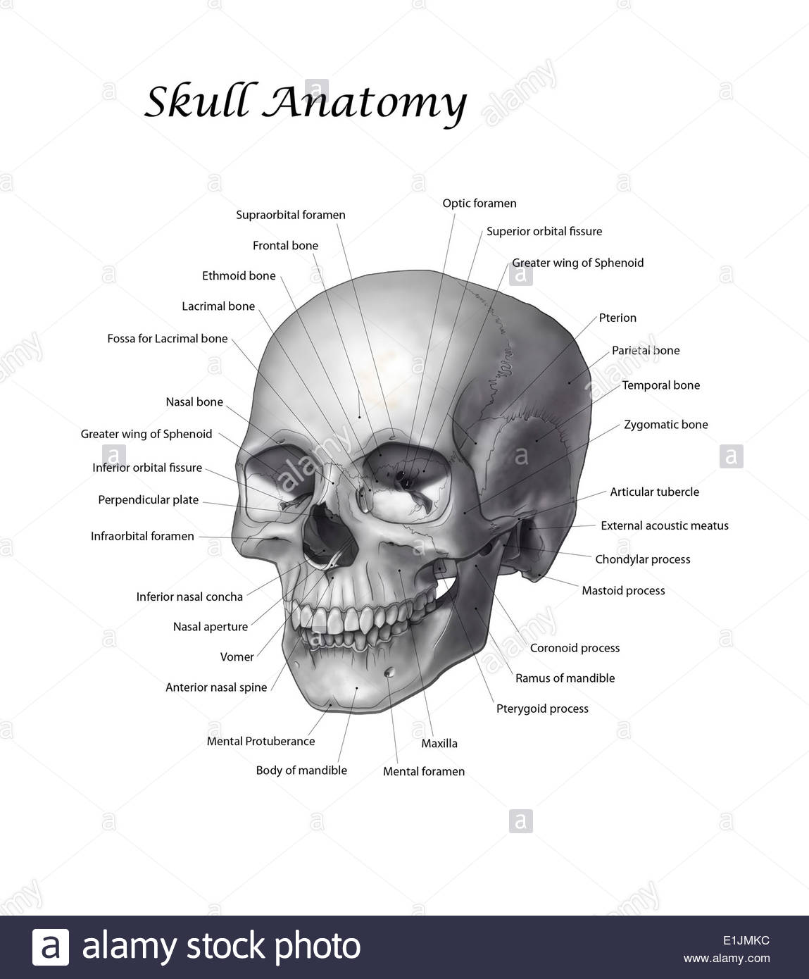 Black and white illustration of a human skull with labels. - Stock Image