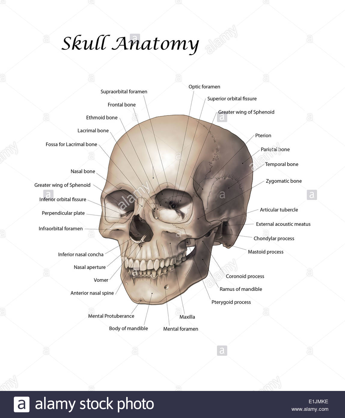 Color illustration of a human skull with labels. - Stock Image