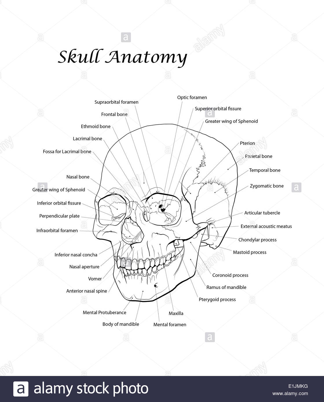 Line illustration of a human skull with labels. - Stock Image