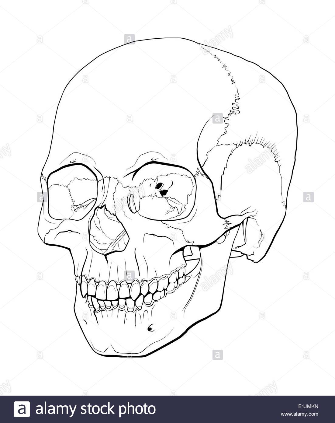 Line illustration of a human skull. - Stock Image