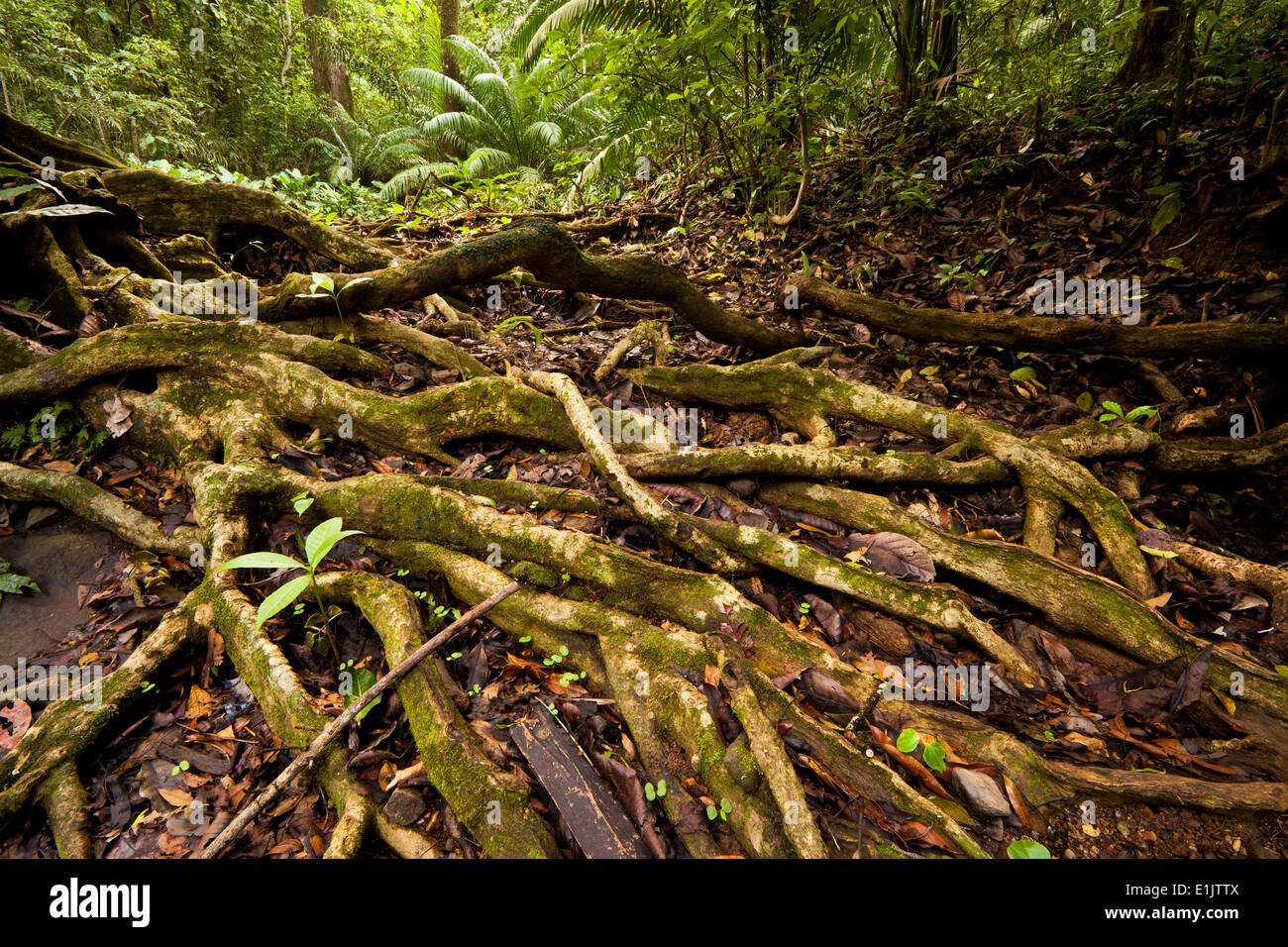Roots at the forest floor in Soberania national park, Republic of Panama. - Stock Image