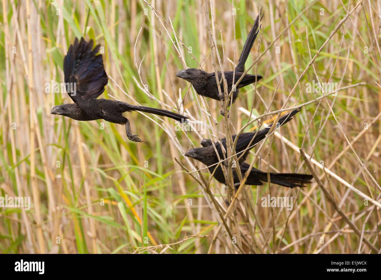 Smooth-billed Ani, Crotophaga ani, at the lakeside of Lago Gatun, Republic of Panama. - Stock Image