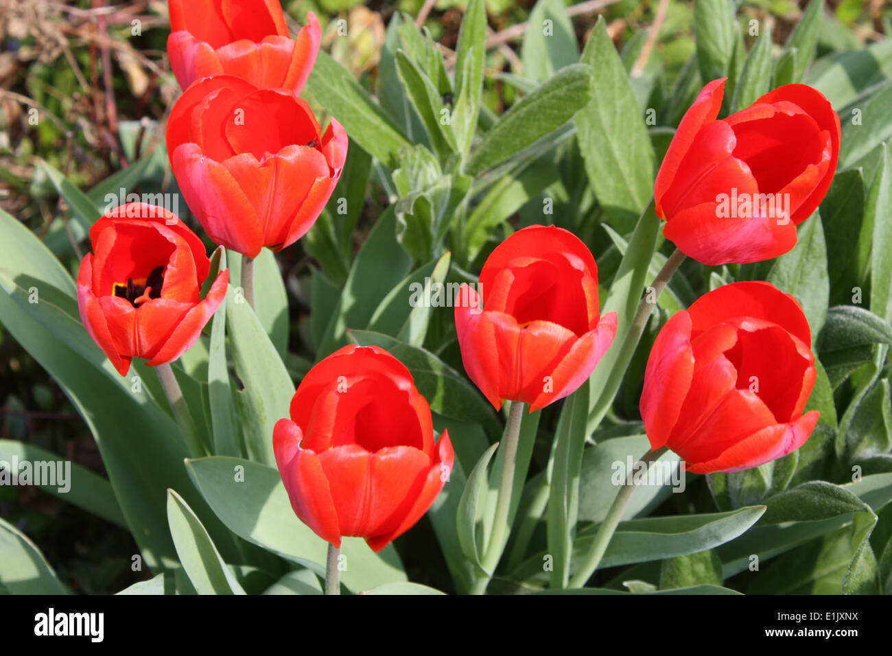 Red tulips flowers in spring season Stock Photo