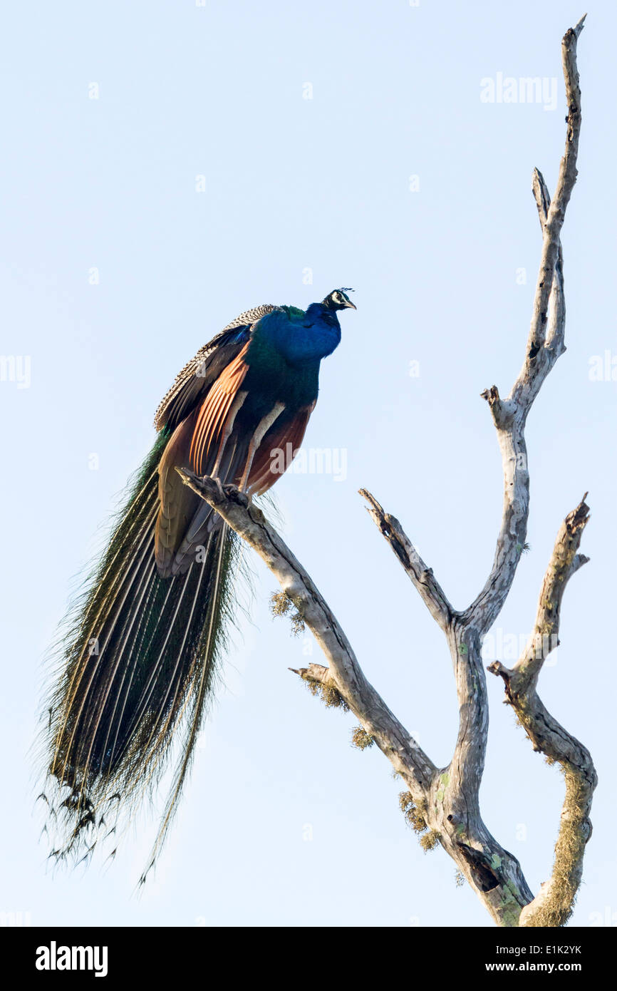 A male Peacock or Indian Peafowl perched in a bare tree, in Yala National Park, Sri Lanka Asia - Stock Image
