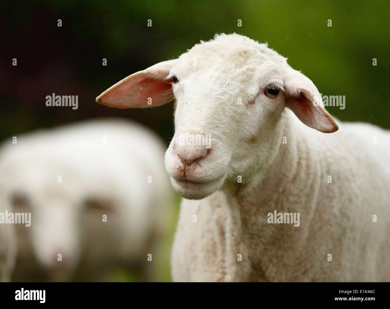 Bleating domestic sheep, Ovis orientalis aries - Stock Image