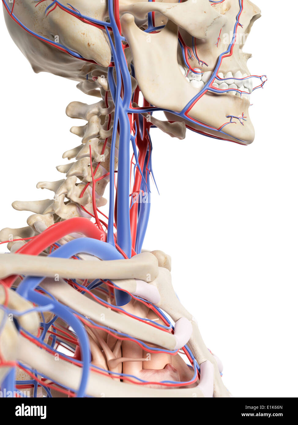 Blood Vessels Of The Neck Stock Photos & Blood Vessels Of The Neck ...