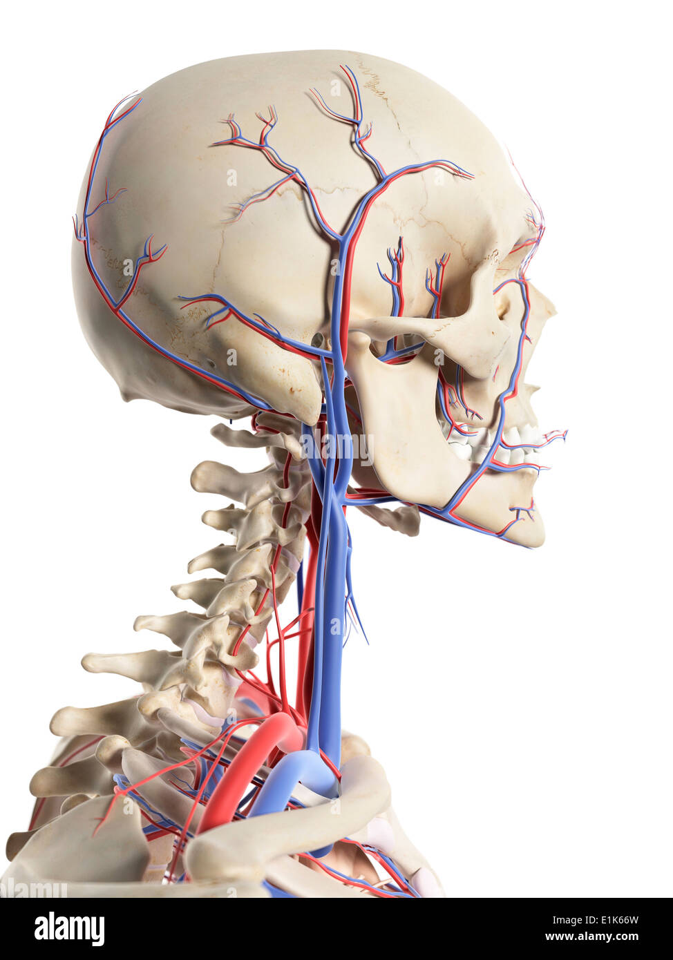 Head And Neck Arteries Stock Photos Head And Neck Arteries Stock