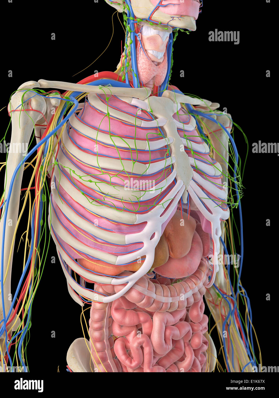 Human Digestive Ribcage Computer Artwork Stock Photos Human