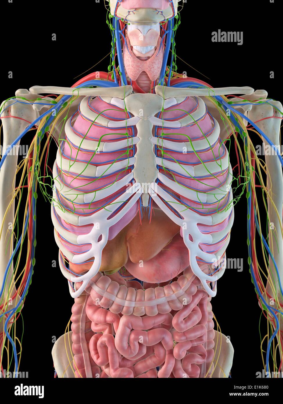 Human ribcage and internal organs computer artwork stock photo human ribcage and internal organs computer artwork ccuart Images