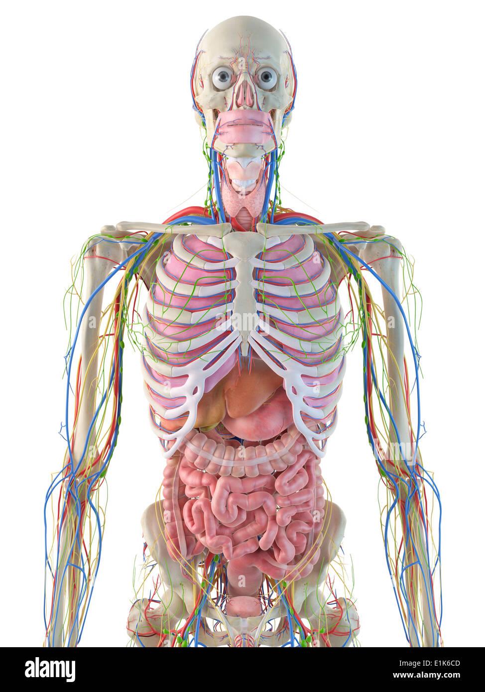 Human digestive ribcage computer artwork stock photos human human digestive system computer artwork stock image ccuart Gallery