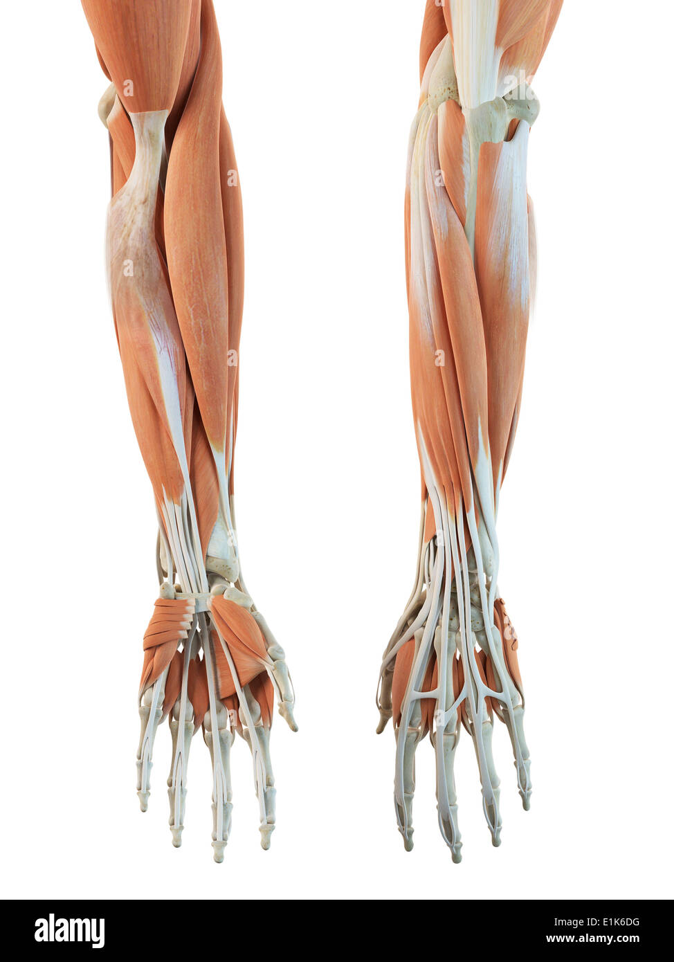 Human muscles in the arms and hands computer artwork Stock Photo ...