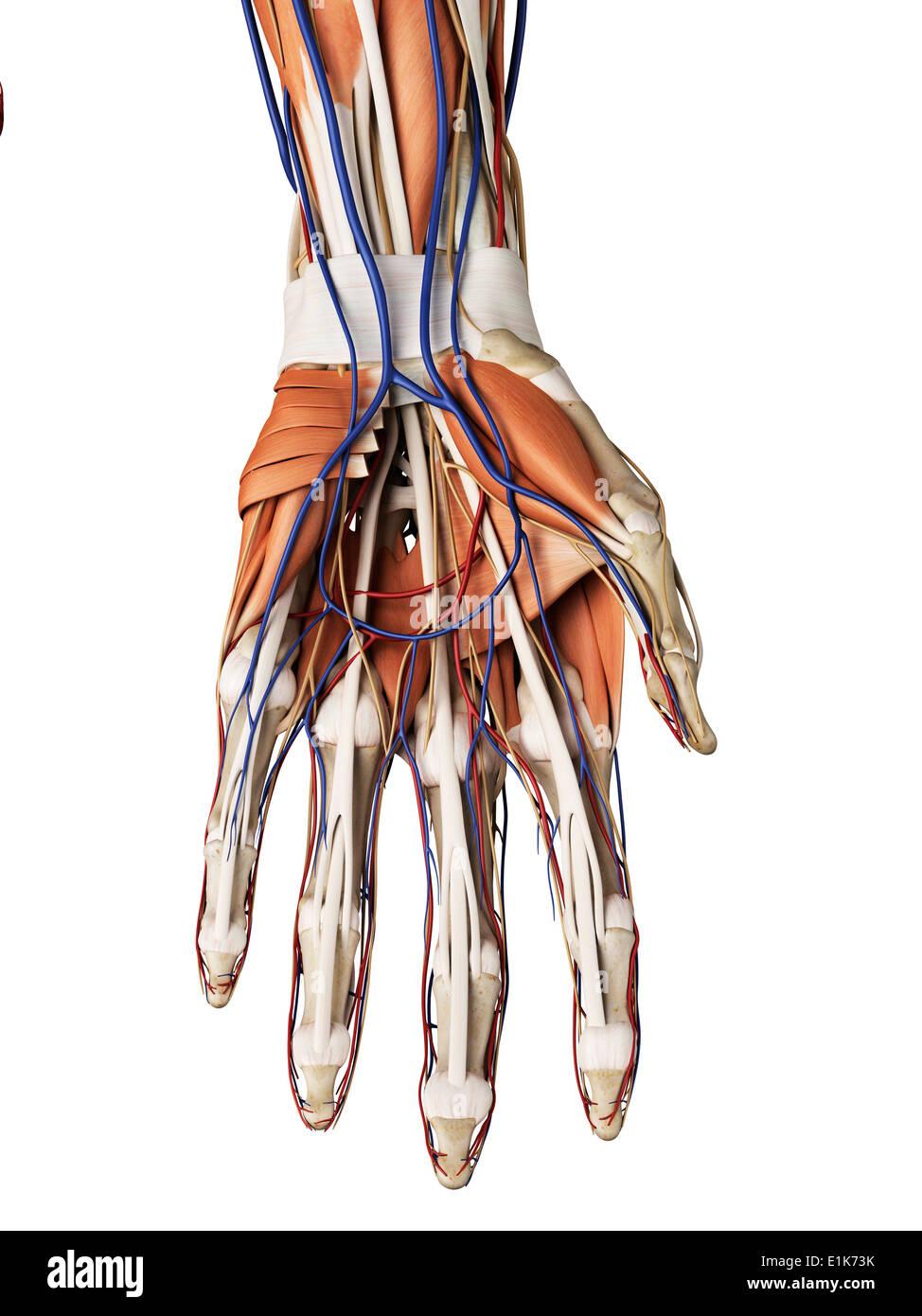 Hand Veins And Arteries Stock Photos & Hand Veins And Arteries Stock ...