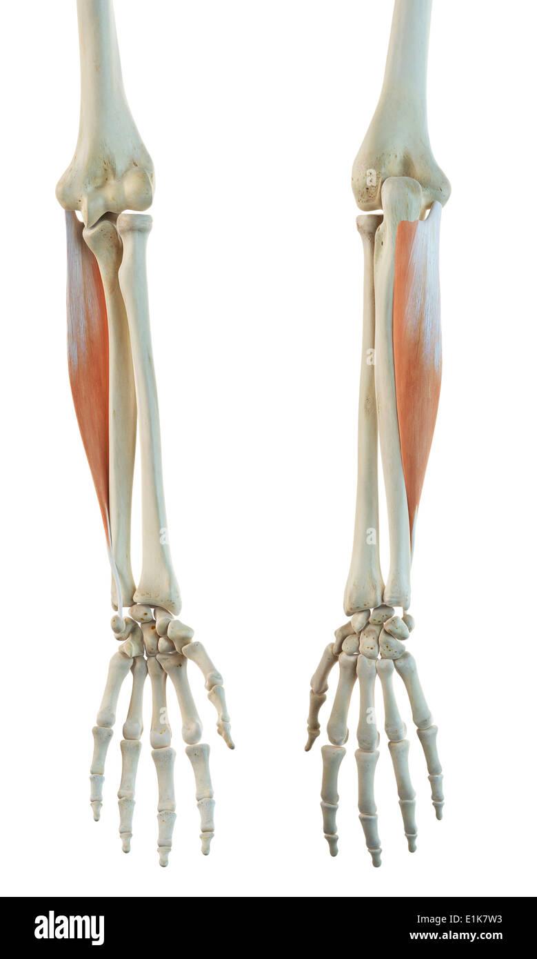 human flexor carpi ulnaris muscle computer artwork stock photo