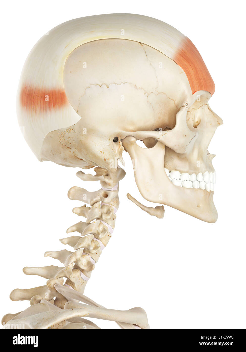 frontalis muscle stock photos frontalis muscle stock images alamy